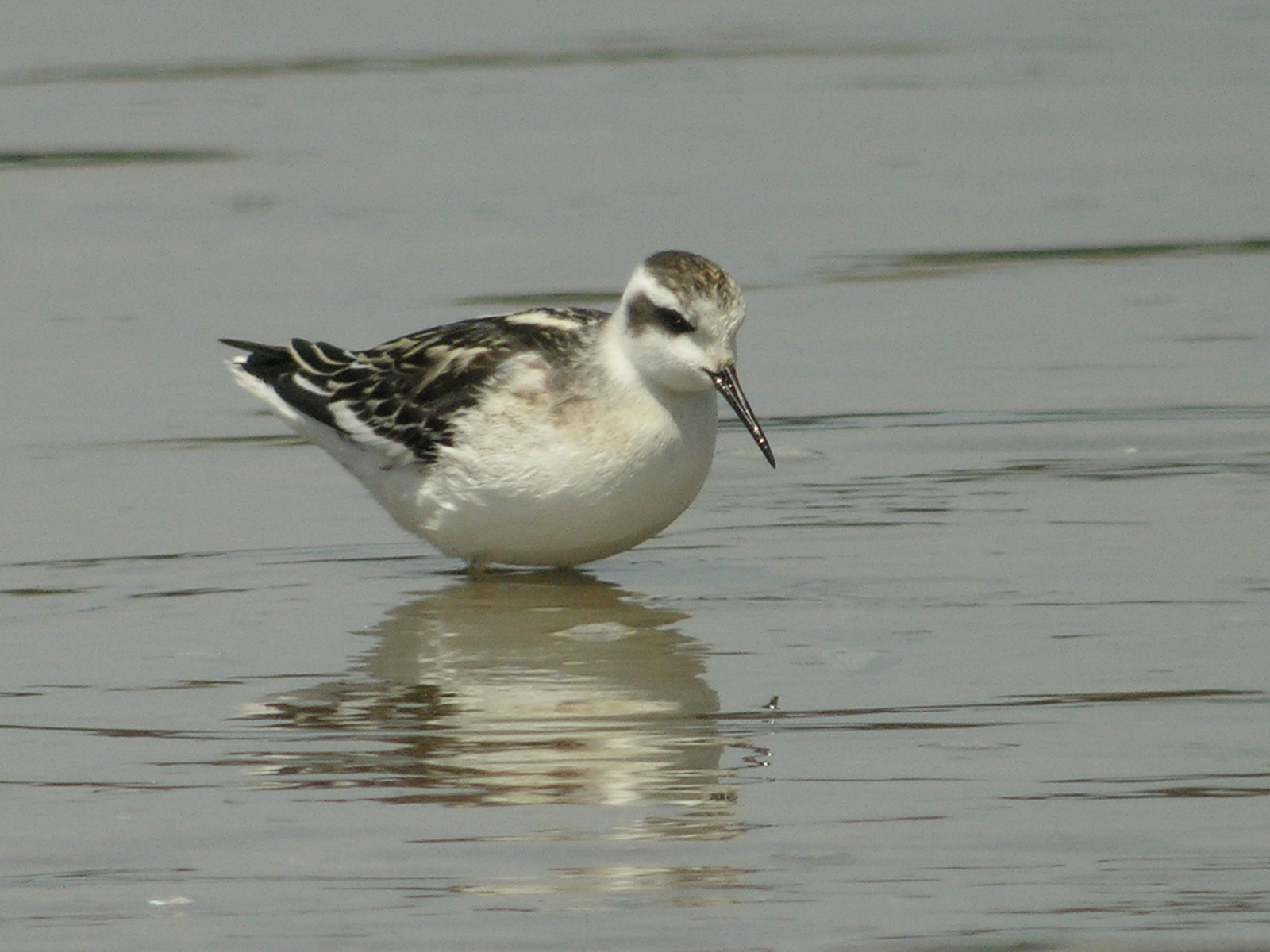 Red Phalarope Winter Red-necked Phalarope