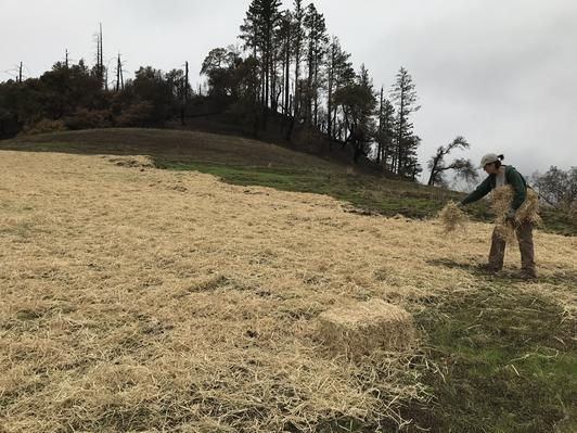 Resource ecologist Julianne Bradbury spreads straw over areas seeded with native grasses