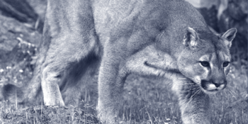 Mountain Lion is one of many species that benefit from wildlife corridors. Photo by Phillip Colla.