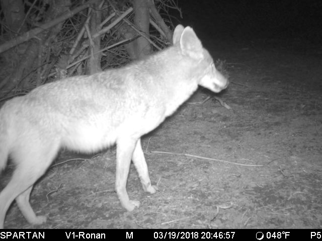 coyote-on-bait-march2018.jpeg