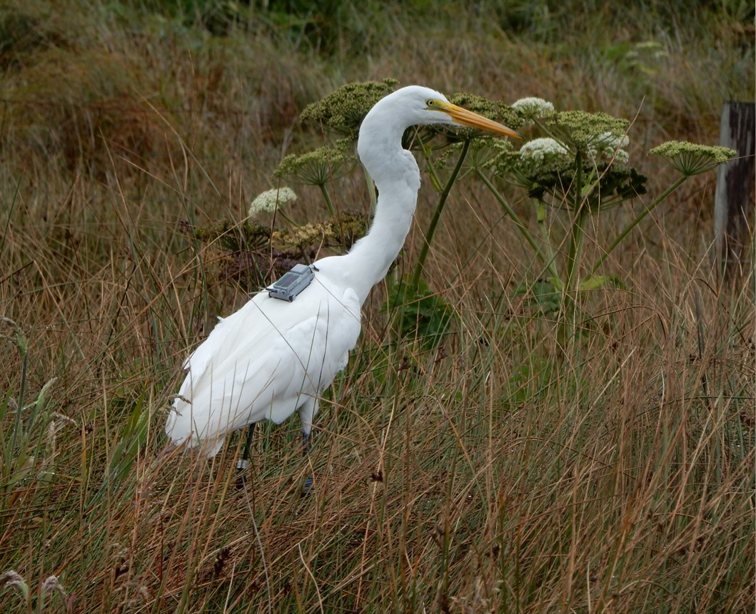 gps_great_egret_1_toms_point_20170607.png