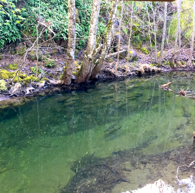 steelhead_in_mcdonnell_creek-march_2018.png