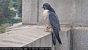 uc-falcon-cam.png